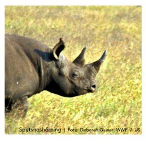 WWF: Färre noshörningar tjuvskjuts i Sydafrika