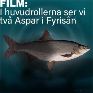 Unik filmsekvens visar Aspar i Fyrisån