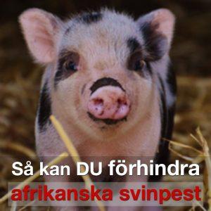 Förhindra spridning av afrikansk svinpest – släng inte mat i naturen