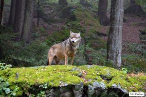 VÅR FAUNA | Ökande illegal jakt vållar stagnation i svensk vargstam