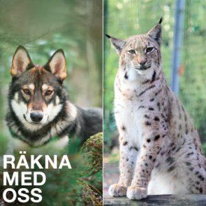 Dags att inventera länets vargar och lodjur 2019/2020