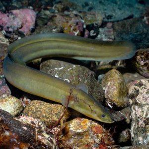 SVERIGE | Varannan fiskbutik och var tredje sushibar säljer hotad ål