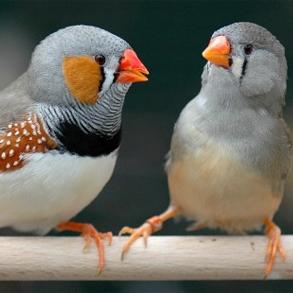Ny kunskap om sångfåglars evolution