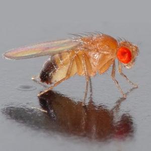 FORSKNING | Ny signalväg som reglerar bananflugors ätbeteende identifierad