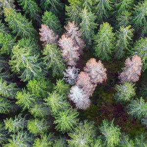 NATUR | Skogen i Svealand fortsatt försvagad efter torkan 2018
