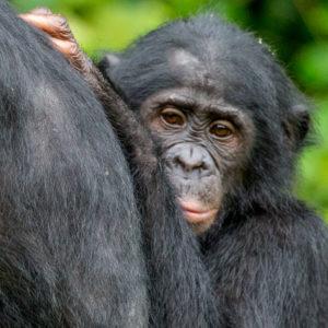 NATUR | Dvärgschimpansen riskerar att smittas av det nya coronaviruset