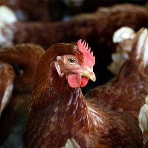 DJUR & ETIK | Är djurvälfärd tillbaka på EU:s agenda?