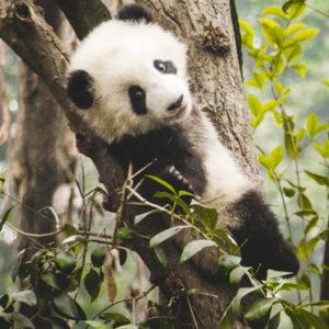 DJUR | Pandareservat i icke-traditionella livsmiljöer kan underlätta bevarandet