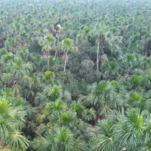 BOTANIK • STUDIE | Flest palmer finns det i de amerikanska regnskogarna
