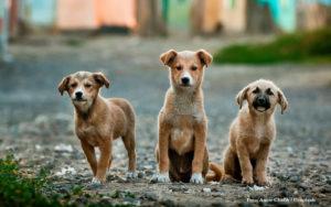 HUSDJUR | Ökad efterfrågan på valpar kan leda till fler smuggelhundar