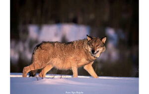 DJUR & NATUR | Svenska, finska och ryska vargar nära släkt visar ny kartläggning