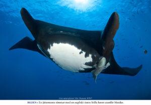 WWF VARNAR: Världens hajar och floddelfiner i fara
