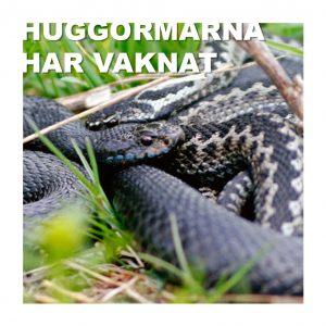 Huggormarna har redan vaknat i Uppsala