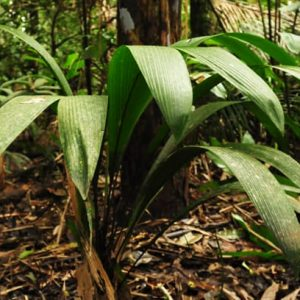 20 års kartläggning av Amazonas palmer är klar