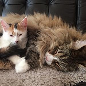 HUSDJUR: Höftledsdysplasi är ärftligt och vanligare hos stora katter