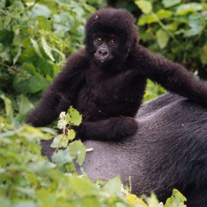 Glädjande ökning av Afrikas bergsgorillor