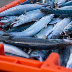 FISKE | Grönt ljus för många insjöfiskar – men fisken i havet mår sämre