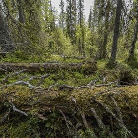 WWF: Starkt kritiska till Skogsstyrelsens beslut att upphöra med registrering av nyckelbiotoper