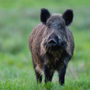 Förslag om förenklad hantering av vildsvin har lämnats till regeringen