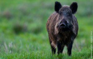 SVERIGE | Nya fynd av ovanlig salmonella bland vildsvin