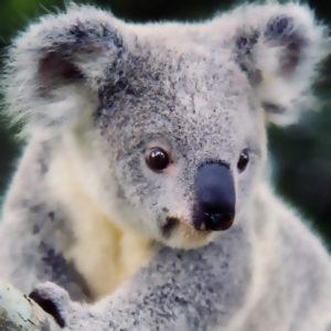 WWF: Nödläge i Australien efter skogsbränderna