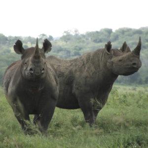 WWF: Glädjande minskning av tjuvskjutna noshörningar i Sydafrika