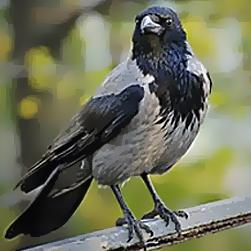 SLU: Svenska kråkfåglar bär ofta på campylobacter