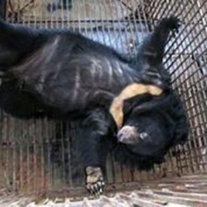 ASIEN / DJURPLÅGERI | Industrin med björngalla frodas trots risk för pandemier