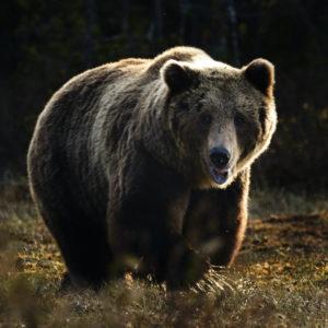 NATUR | Nya miniminivåer för björn i Sverige fastställda