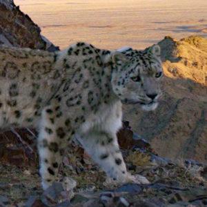 ZOOLOGI | Inventering med viltkameror riskerar att överskatta populationer av hotade kattdjur