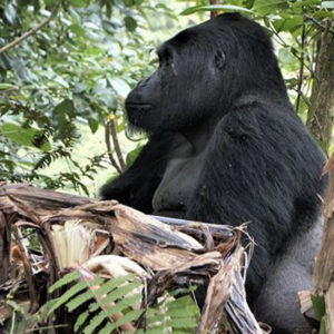 DJUR & NATUR | Bergsgorilla tragiskt dödad av tjuvjägare i Uganda – Första gången sedan 2011
