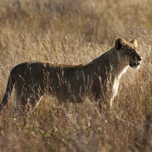 NATUR • KLIMAT | Lejon försvårar klimatanpassningen för bytesdjur