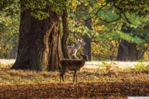 TRAFIK | Högsäsong för viltolyckor – krockar med rådjur ökar kraftigt