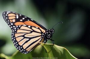 VÅRA VÄXTER | Insektspollinering gav kraftigt ökad skörd av åkerböna, även vid torka och bladlusangrepp