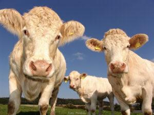 FORSKNING | 48 miljoner till SLU för forskning om djurens roll i livsmedelssystemet