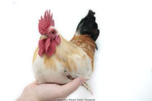 DJUR | Långvarig stress orsakar genförändringar i kycklingar