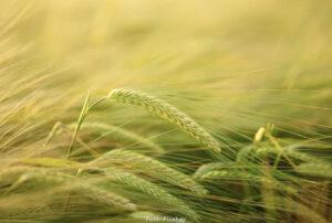 FORSKNING | Växtföljder – ett lovande sätt att få maten att räcka i ett förändrat klimat