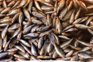 MARINT | Så mår svensk fisk och skaldjur