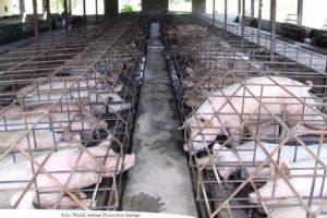NY RAPPORT: Globala livsmedelsjättar sviker djuren